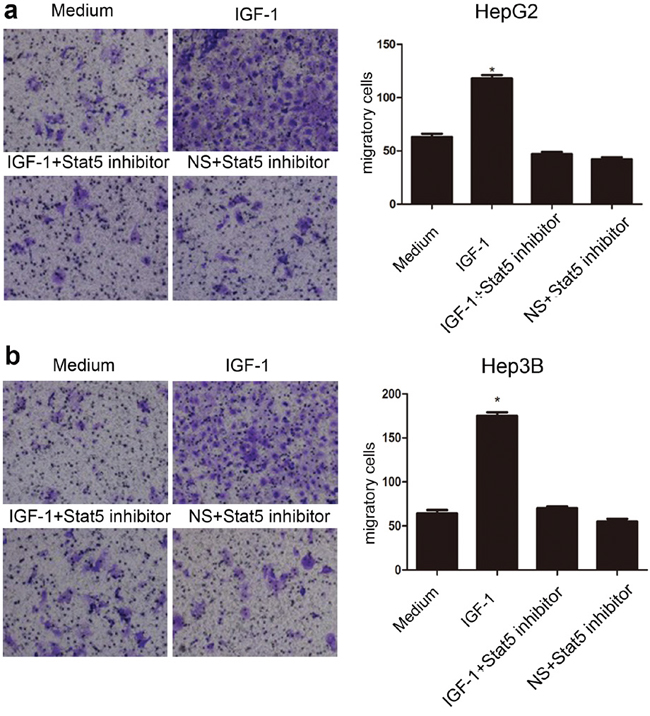 Stat5 inhibitor impaired IGF-1-induced migration of HepG2 and Hep3B cells.