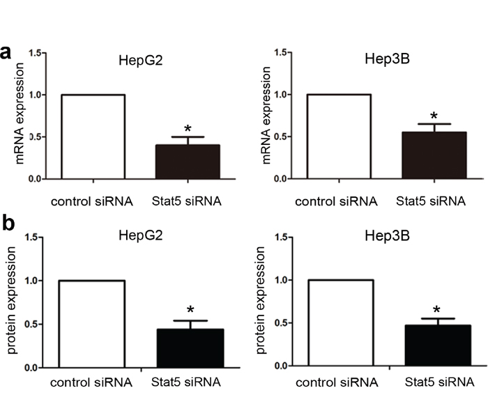 Stat5 knockdown by siRNA in HepG2 and Hep3B cells.