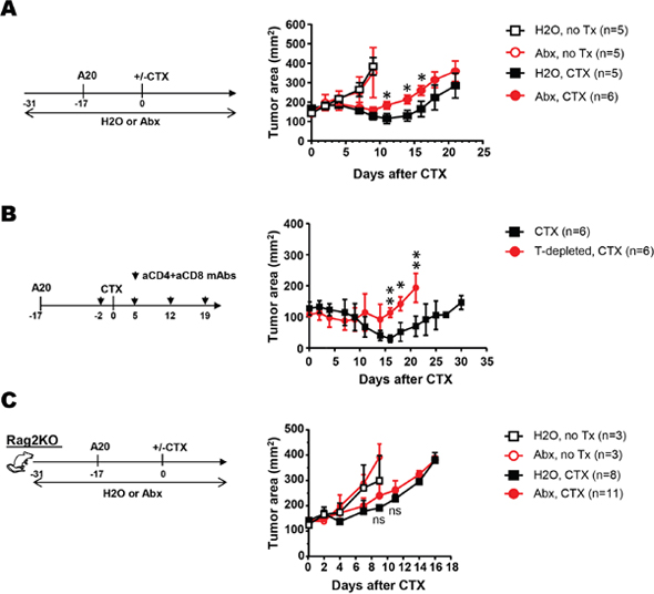 Antibiotics administration diminishes the efficacy of CTX in mice with B-cell lymphoma by attenuating CTX-elicited antitumor T cell responses.