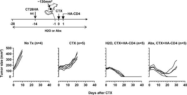 Antibiotics administration impairs the curative effect of adoptive CD4+ T-cell therapy in a mouse colorectal tumor model.