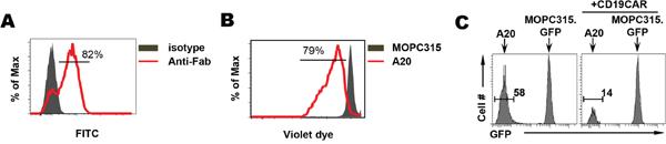 CD19-CAR T cells exhibit direct killing activity toward B-cell lymphoma in vitro.