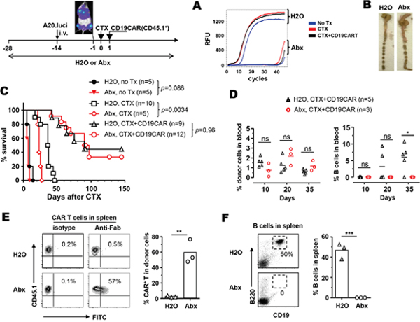 The use of antibiotics does not affect the efficacy of CD19-CAR T-cell therapy but influences the persistence of CAR T cells and B cell recovery.