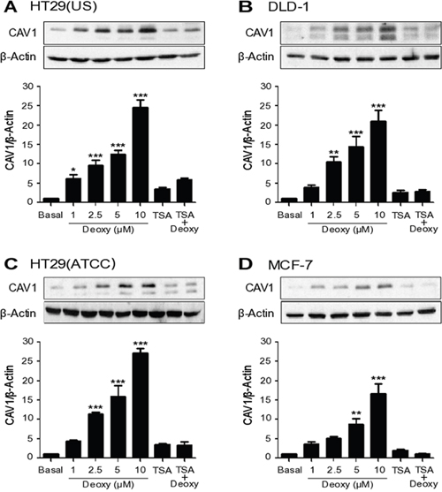 CAV1 expression is suppressed by DNA methylation in cancer cell lines.