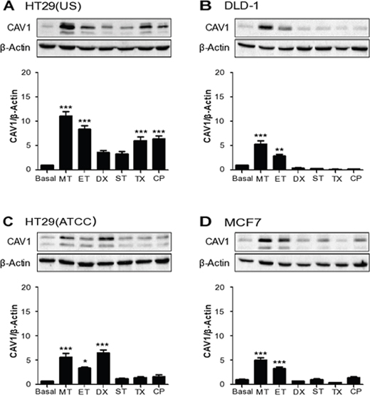 Anti-neoplastic drugs increase CAV1 expression in colon and breast cancer cell lines.