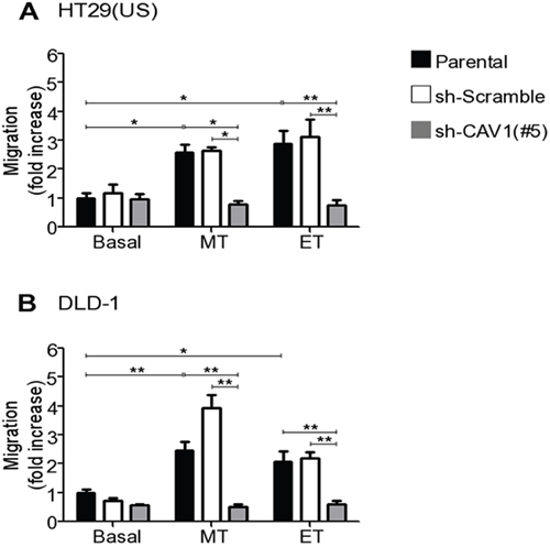 CAV1 silencing precludes the increase in cell migration induced by Methotrexate and Etoposide in colon cancer cell lines.
