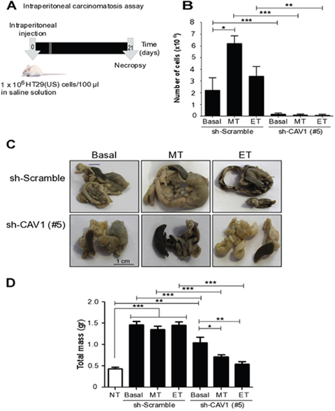 Ex vivo treatment of colon carcinoma cells with Methotrexate and Etoposide increases the number of CAV1-expressing cells in ascites fluid and metastasis in vivo.
