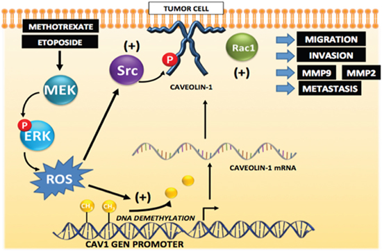 Working model summarizing the main findings described in this study identifying the mechanisms by which cytotoxic drugs induce CAV1 expression.