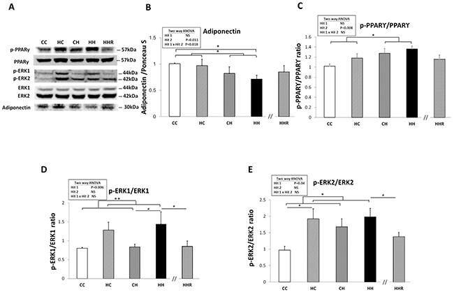 Protein expression levels of adiponectin, phospho-PPARγ, phospho-ERK1, and phospho-ERK2 in rat dorsal hippocampus.