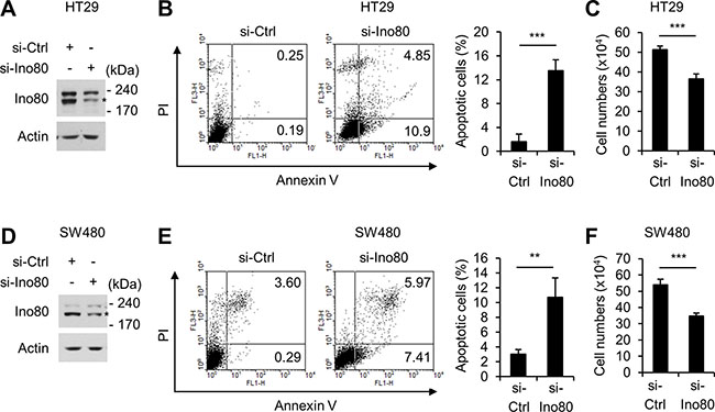 Ino80 knockdown increases apoptosis in human colon cancer cells.