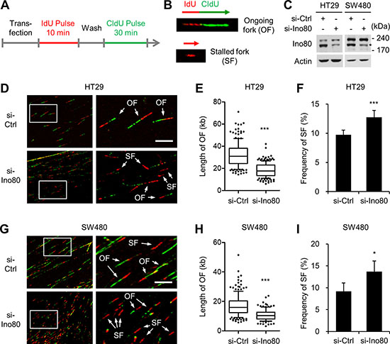 Ino80 knockdown decreases replication rates and increases stalled replication forks in human colon cancer cells.