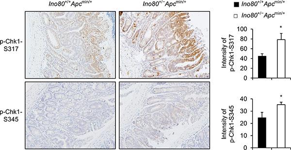 Ino80 haploinsufficiency activates Chk1 in intestinal tumors in Apcmin/+ mice.