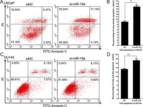Downregulation of miR-19a induces apoptosis in PCa cells.