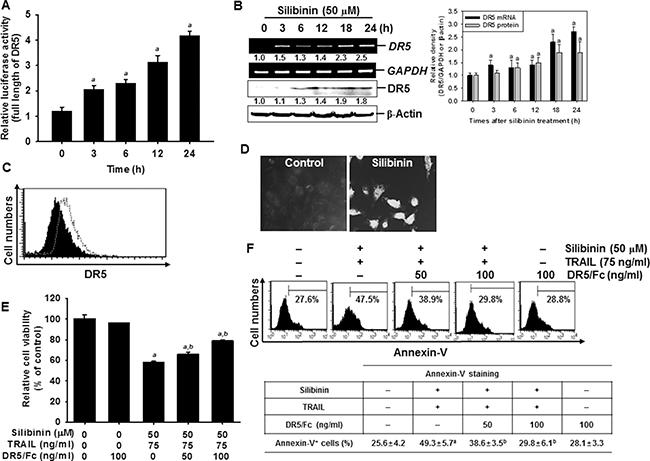 Sensitization of TRAIL-induced apoptosis by silibinin through DR5 upregulation.