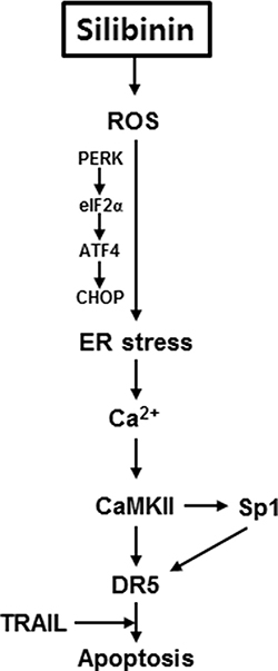 Schematic explanation of the multiple signal pathways involved in controlling DR5 expression in response to silibinin/TRAIL.
