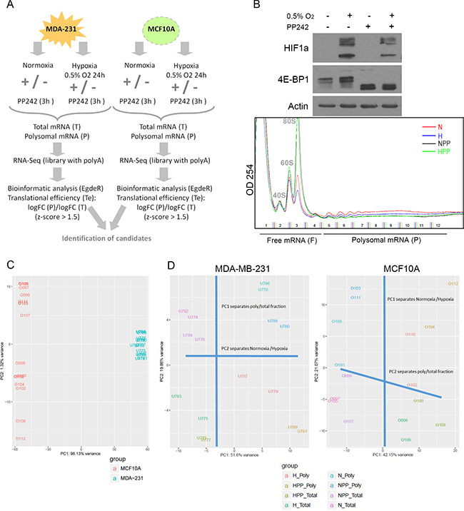 Overview of the polysomal RNA-Seq screen after hypoxia and mTOR inhibition.