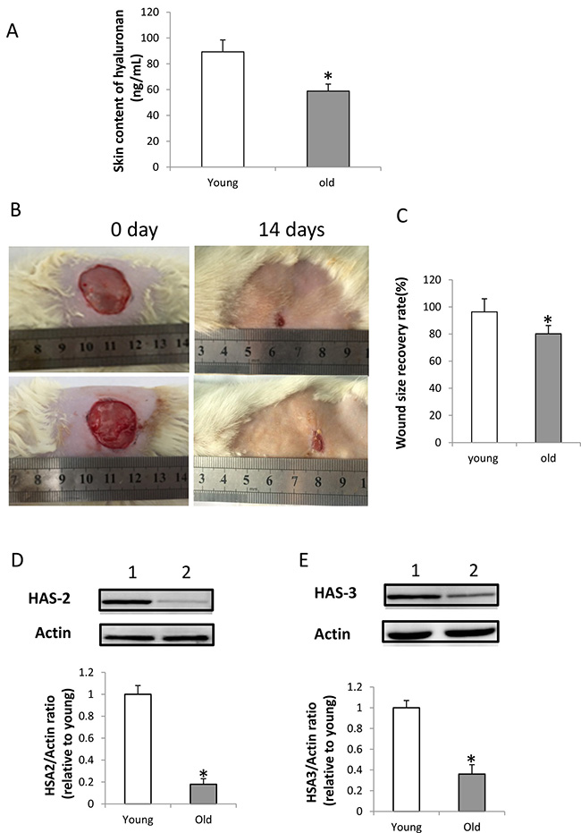 HA content, expression of HAS-2 and HAS-3 in the wounded skin and wound healing in old rats.