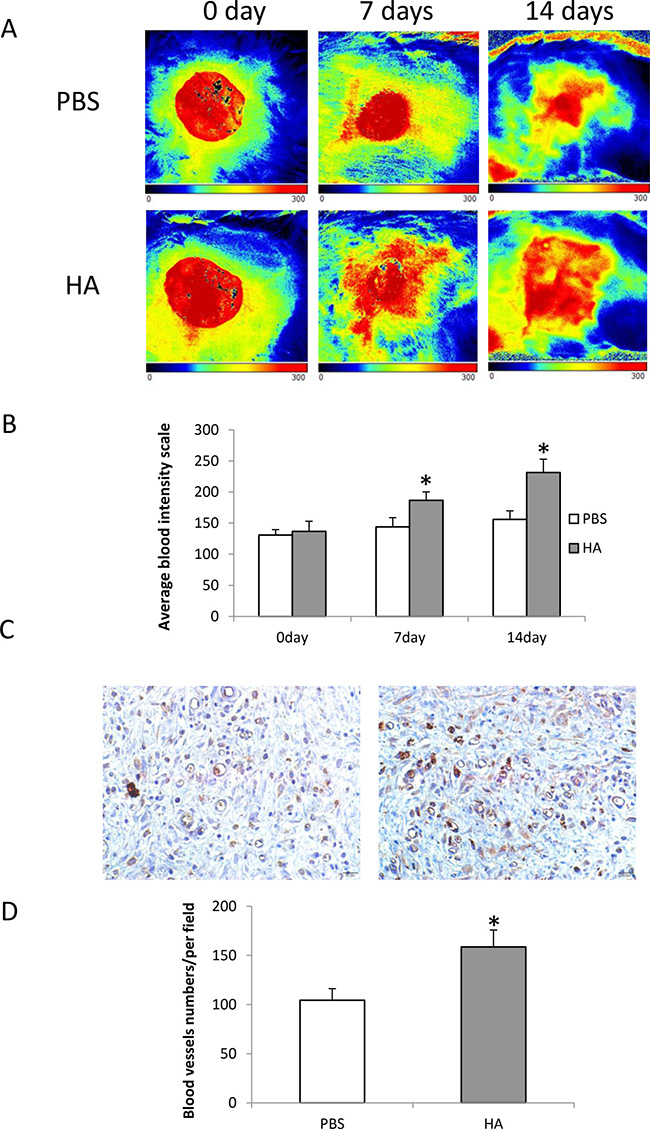 Local injection of HMW-HA increases blood flow in the wounded area of old rats.