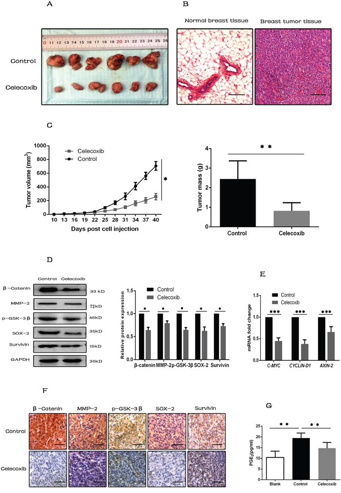 Celecoxib inhibits tumorigenesis in vivo by inhibiting the synthesis of PGE2 and down-regulating the Wnt pathway activity.