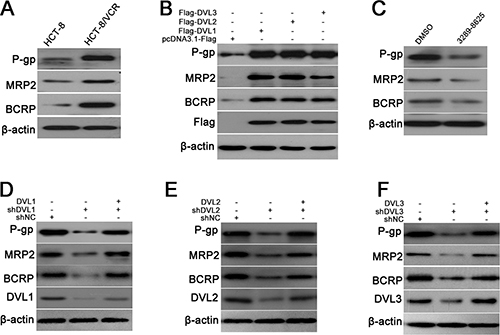 DVL increased expressions of P-gp, MRP2 and BCRP.
