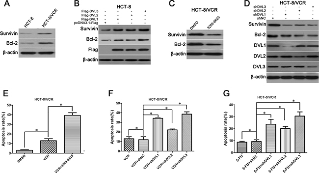 The effect of DVL on expressions of Survivin and Bcl-2, and drugs-induced apoptosis.