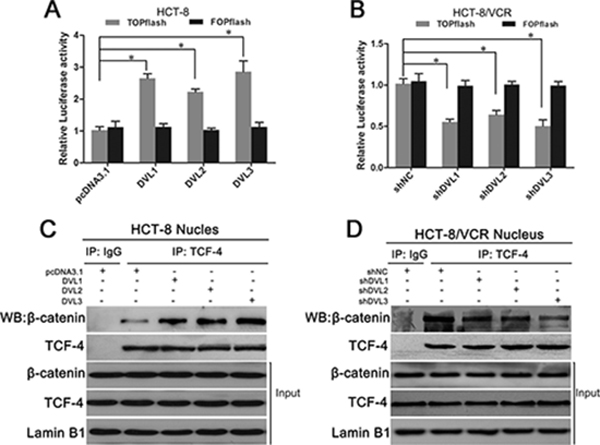 DVL promoted nuclear complex formation and transcription activity of β-catenin/TCF.