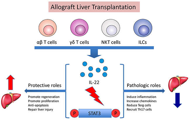 Dual roles of IL-22 in rat liver transplantation by the activation of STAT3.