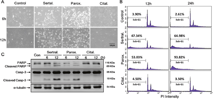 Sertraline and paroxetine activate the intrinsic apoptotic pathway in astrocytes.