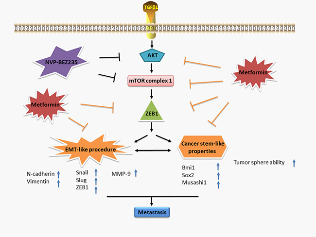 A working model illustrates the inhibitory effect of metformin on TGF-β1-induced EMT-like process in GBM cells.