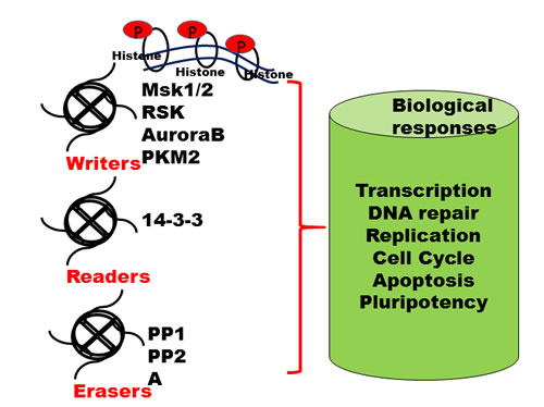 Writers, readers and erasers of histone marks.