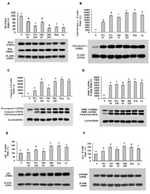 Effects of TFC and TNC on protein expressions of Bcl-2/Bax (A), cytosolic cytochrome c (Cyto c) (B), caspase-3/pro-caspase-3 (C), PARP-1 (D), p53 (E), and p21 (F) in highly-metastatic LLC cells.