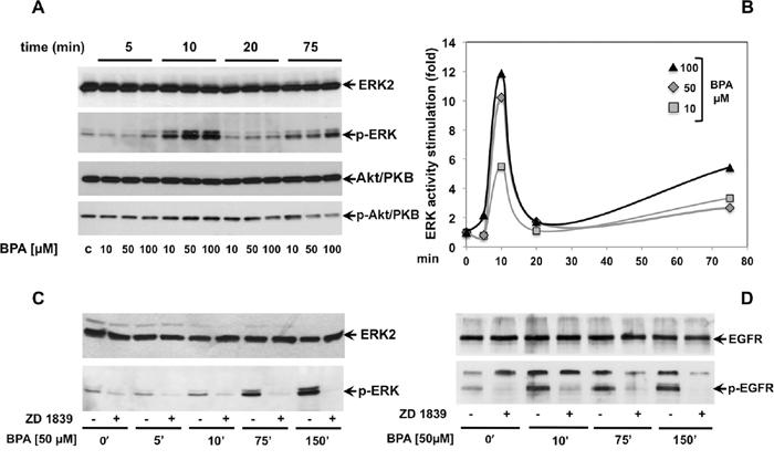 BPA stimulates ERK, but not Akt/PKB phosphorylation through epidermal growth factor receptor (EGFR).