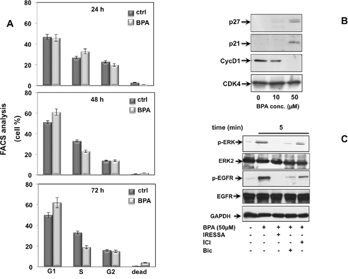 BPA induces cell cycle arrest in EPN cells.