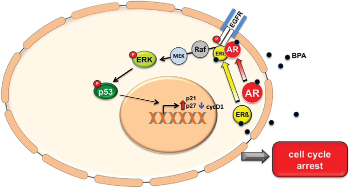 A model of BPA activation pathway.