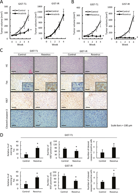Imatinib resistance in GIST-IR cells and efficacy of reovirus therapy against GIST-T1 and GIST-IR cells in vivo.
