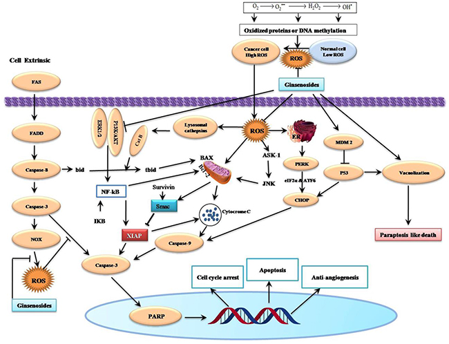 Schematic Diagram of Effects of Ginsenosides on Reactive Oxygen Species-Related Cell Cycle Arrest, Apoptosis, Paraptosis and Anti-angiogenesis of Cancer Cells.