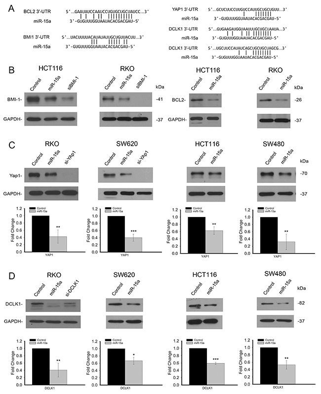 miR-15a inhibits several important targets in colon cancer.
