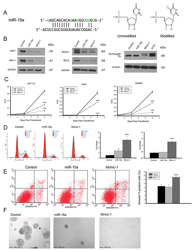 Modified miR-15a mimic is more potent than miR-15a and retains target specificity.