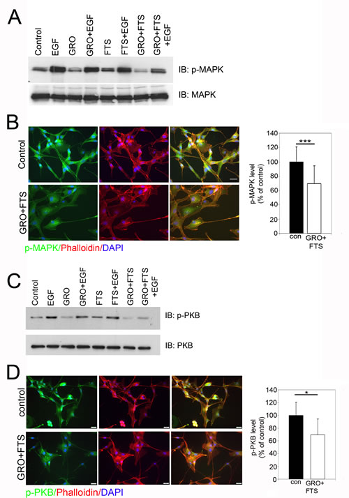 Ras and nucleolin inhibition reduces p-MAPK and p-PKB levels.