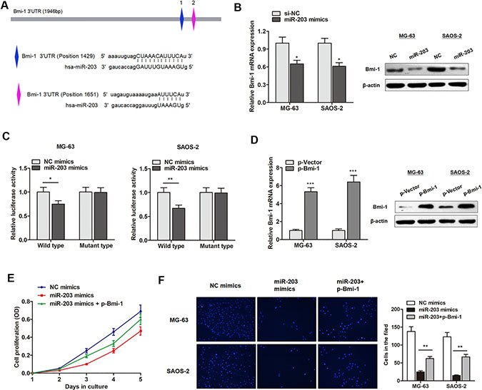 miR-203 targets BMI-1 and suppresses osteosarcoma cell proliferation and invasion.
