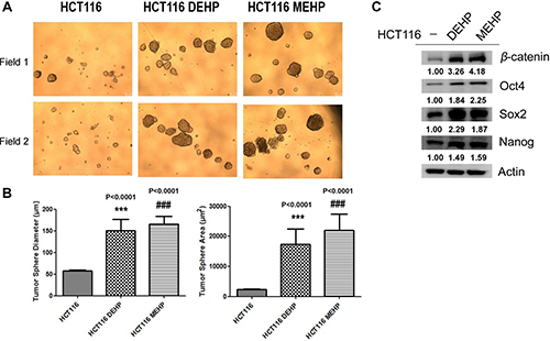 DEHP/MEHP treatment increased sphere formation and upregulated stemness-related proteins in HCT116 cells.
