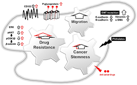 Proposed mechanisms of phthalate-promoted drug resistance and cell migration in colon cancer.