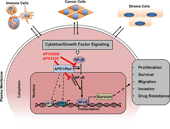 Model showing how cytokine/growth factor signaling induces survivin protein expression and where APX2009/APX3330 inhibits.