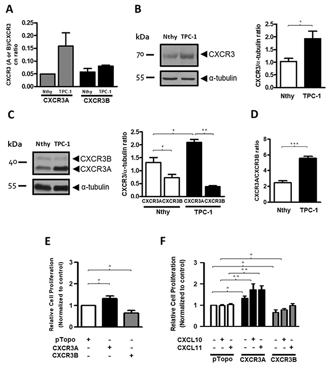 CXCR3A is upregulated in thyroid cancer cells (TPC-1) and promotes proliferation in the Nthy-ori-3-1cell line.