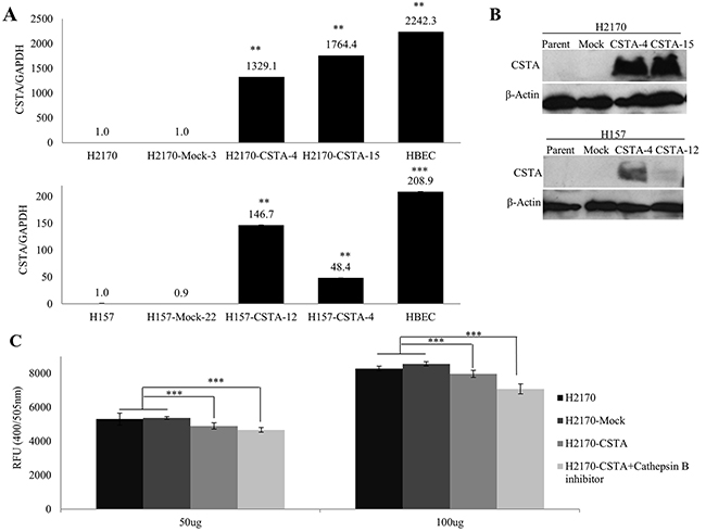Overexpression of CSTA inhibits cathepsin B activity.
