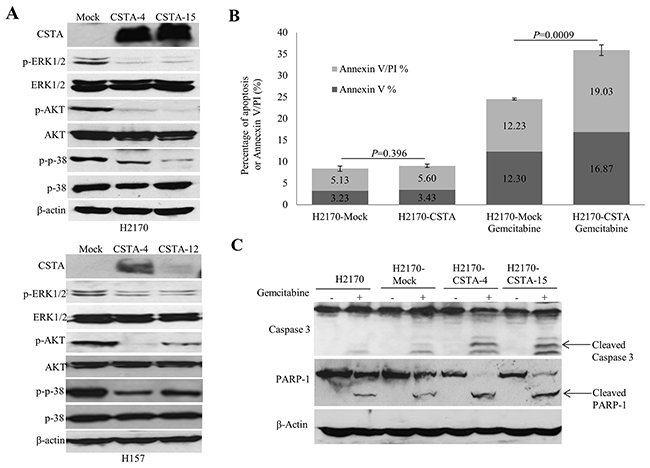 CSTA overexpression regulates PI3K/AKT and MAPK pathways and enhances gemcitabine-induced apoptosis.