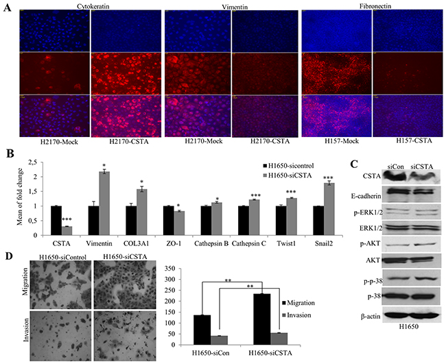 CSTA ectopic expression results in altered EMT markers on protein levels and CSTA knockdown leads to enhanced tumor cell migration and invasion as well as altered mRNA expression of EMT markers.