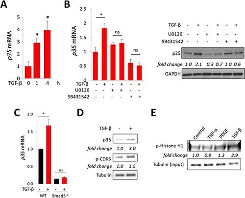 TGF-β stimulates p35 expression and CDK5 activation.