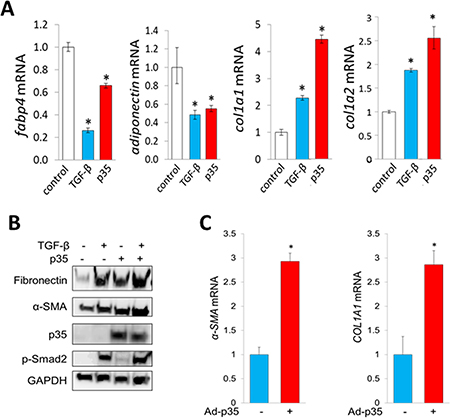 p35 has profibrotic effects in mesenchymal cells.