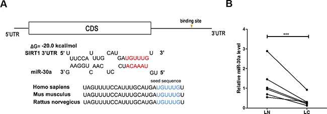 Prediction of the miR-30a binding site within the SIRT1 3′-UTR.