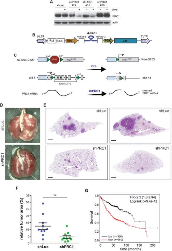 PRC1 is required for lung tumorigenesis in vivo.